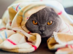 cat_in_blanket